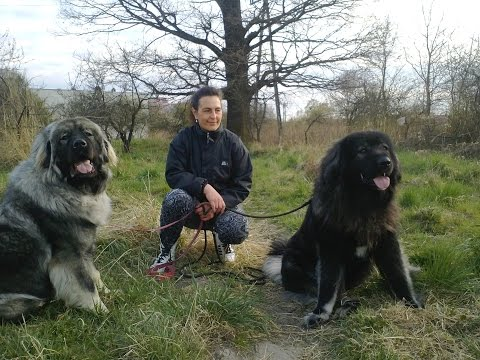 Caucasian shepherd dog Sunday Walk