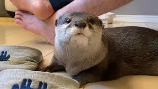 カワウソさくら 子猫と飼い主の世話に追われる忙しいカワウソ A busy otter playing with a kitten and its owner