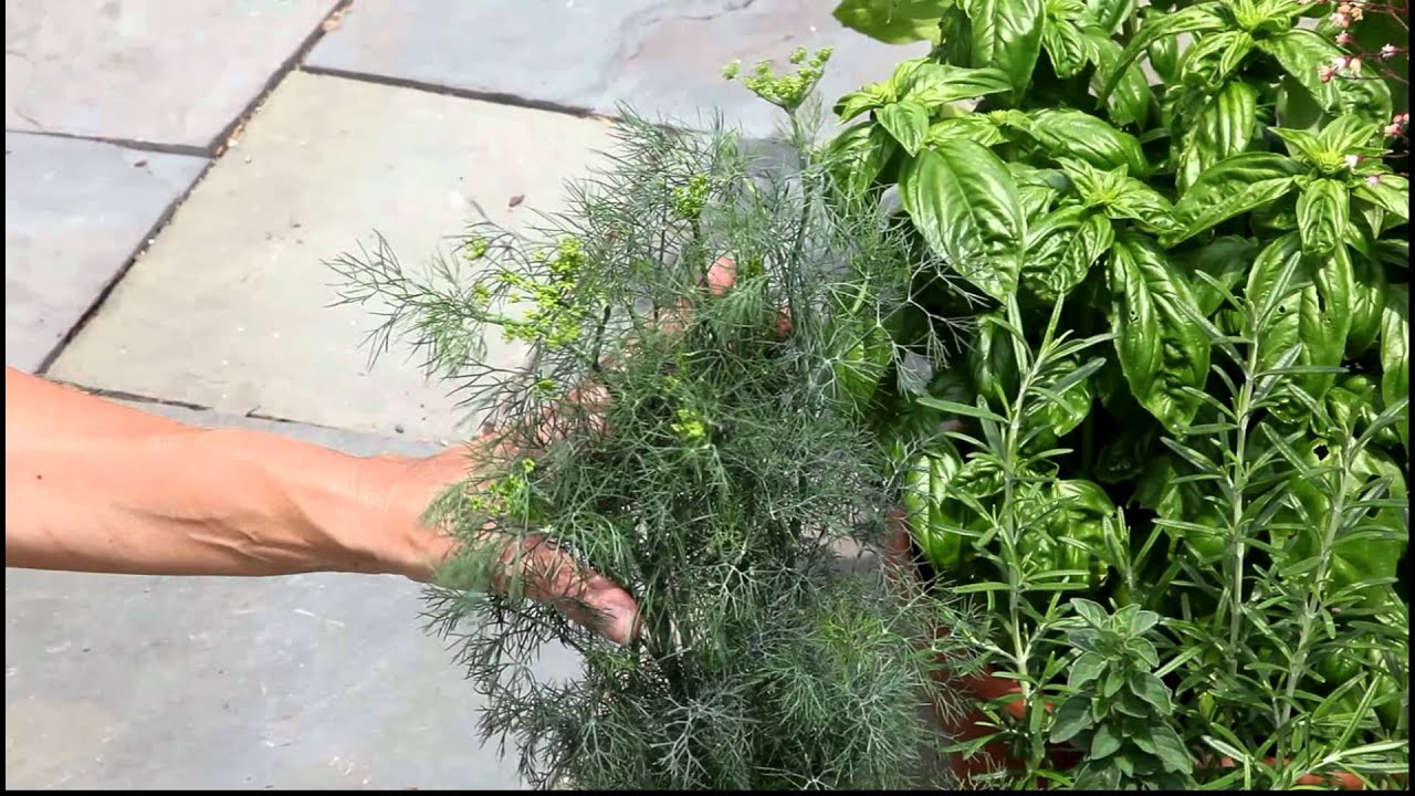 How to cut your dill doovi - Tips planting herbs lovage parsley dill ...