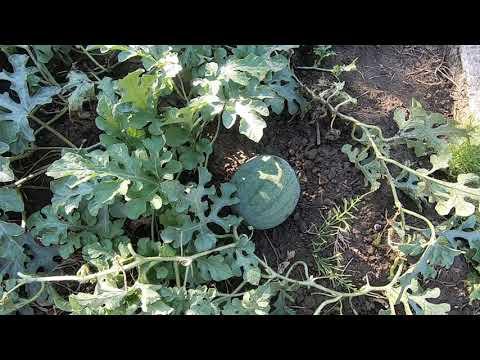 Формирование арбуза. Как вырастить арбуз в открытом грунте средней полосы.