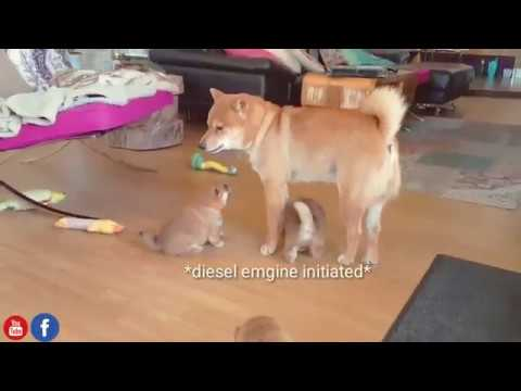ABCDEFG it was best just u and me / Shiba Inu puppies