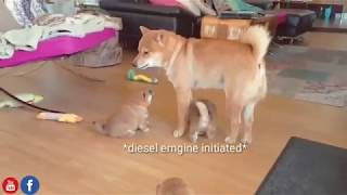 abcdefg-it-was-best-just-u-and-me-shiba-inu-puppies