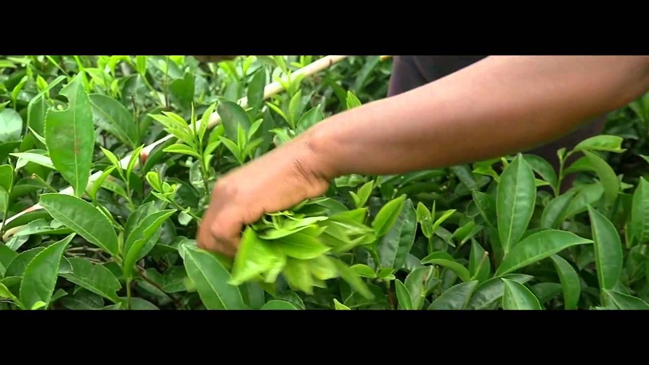 В магазине «планета чая» можно купить фасованный чай оптом, мелким опт и в розницу в москве!. Мы рады предложить вам импортный фасованный.