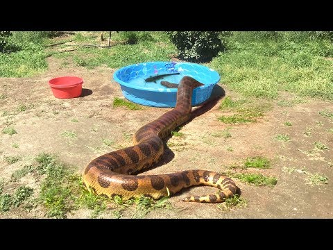 ANACONDA enters Water--FEEDS ON CATFISH
