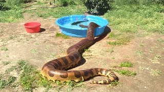 ANACONDA enters Water--FEEDS ON CATFISH
