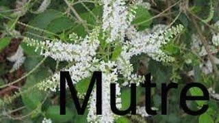Mutre - Aloysia Virgata A planta dos criadores de abelha