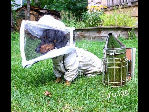 Crusoe the Beekeeper Dog!
