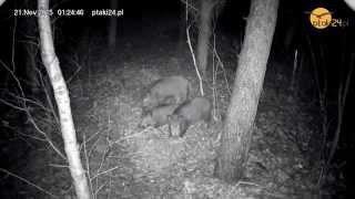 Trzy dziki w leśnym karmisku dla zwierząt na Podkarpaciu