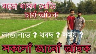 boro-or-summer-rice-cultivation-in-assam-boro-rice-field