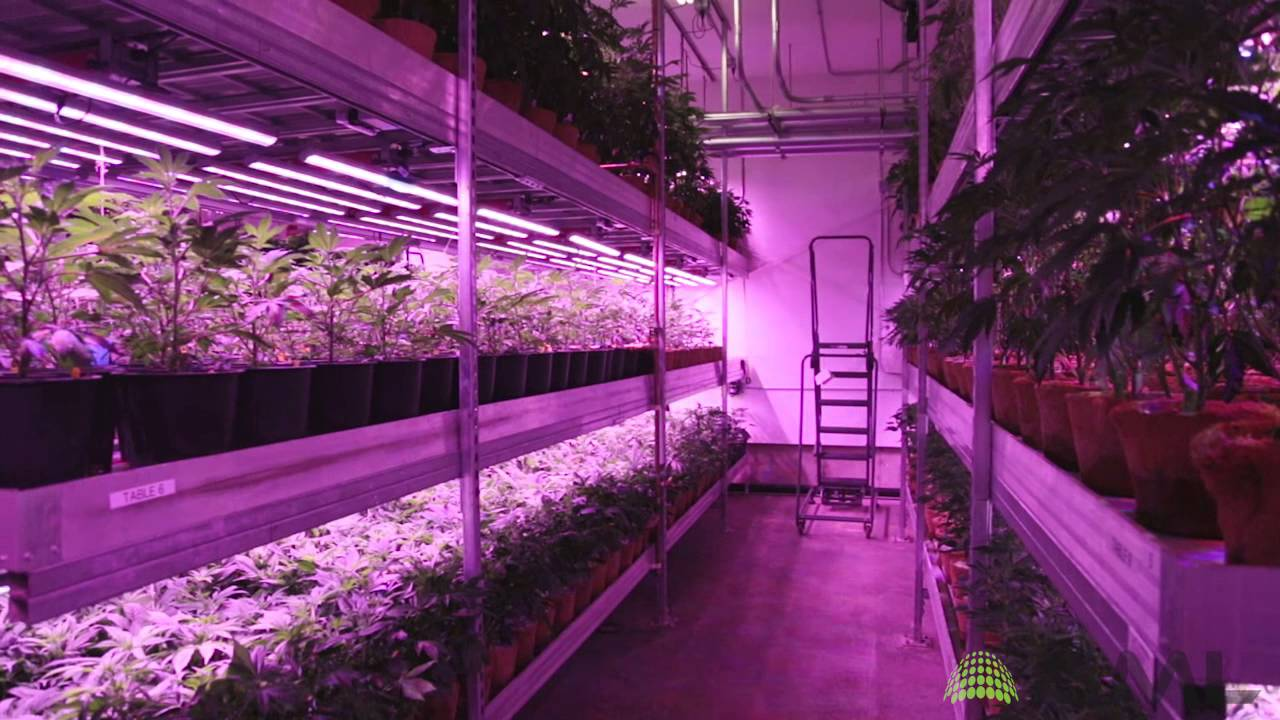 Cannabis Vertical Farm With LED Grow Lights From BML