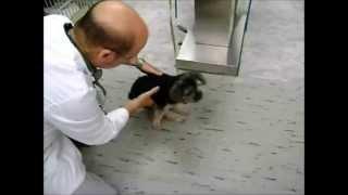 Paralyzed Dog Walks Again - Plano Texas