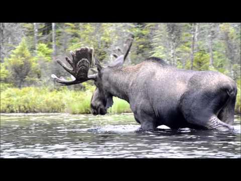 Harold the Helldiver Moose
