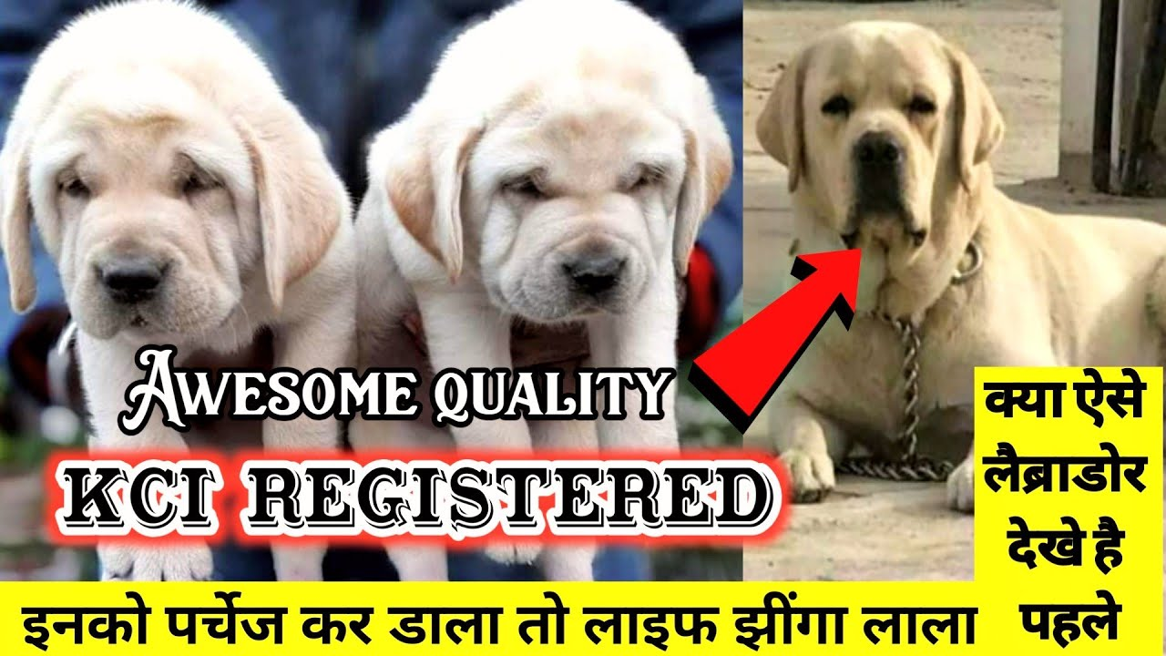 High class pupps | labrador puppies for sale | Black lebra dog |  labrador facts In hindi