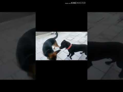 German shepherd vs Pitbull Fight - YouTube