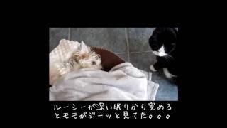 マルチーズ x シルキーテリア)2歳 お昼寝から起きたら。。。 2 Year o...