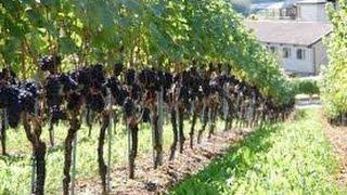 Выбор места, посадки винограда. Приусадебное хозяйство. Сад и огород.