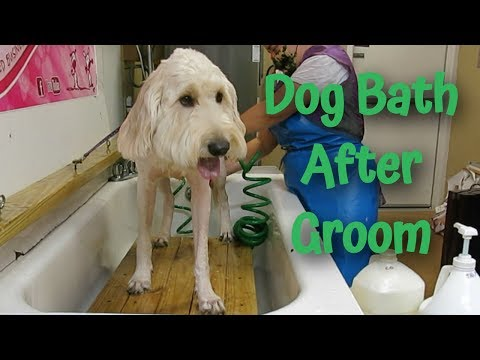 goldendoodle-bath-time