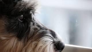 Mini Schnauzer Puppy Home Alone #PetsAddLife