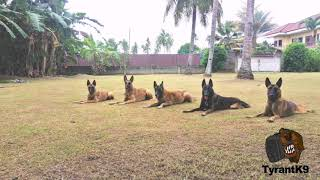 Belgian Malinois pack protection