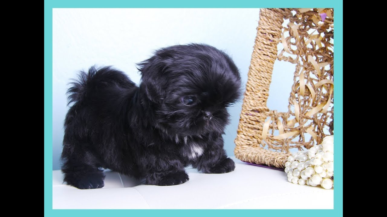 all black shih tzu tiny solid black shih tzu youtube 4596