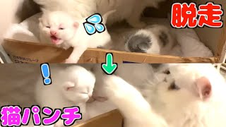生後23日目!脱走する子猫に猫パンチで応戦する母猫の寸劇が面白すぎたwww【子猫の成長日記 23】