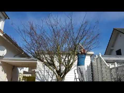 Mirabellen Baum Fruhlingsschnitt Timelapse Youtube