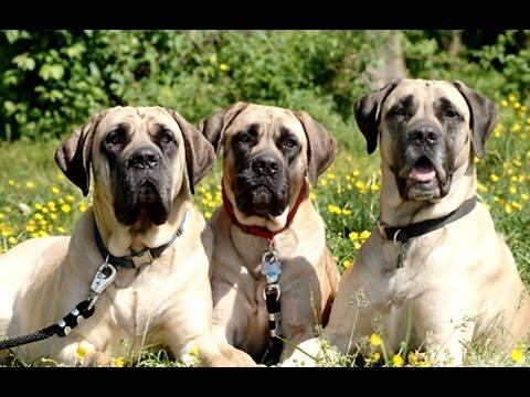 Огромная порода Собак   English Mastiff vs Great Dane