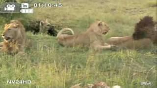 ПРИКОЛ Странное поведение львов!До конца смотрите!