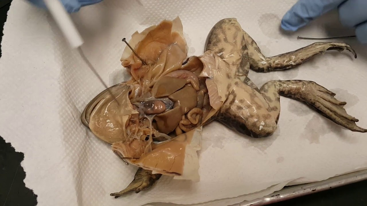 Frog Dissection: Internal Anatomy - YouTube