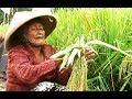 DOA & PROSESI Tradisi Wiwitan - Upacara Adat Jawa PANEN PADI - Paddy Harvest Ritual [HD]