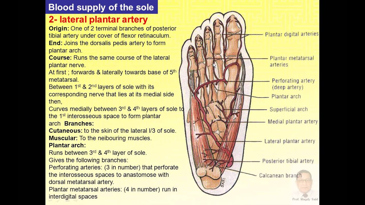 Magdy Said anatomy series, lower limb,the foot-3,v1 - YouTube