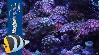 zoanthid and palythoa coral care tips paly toxin and fragging