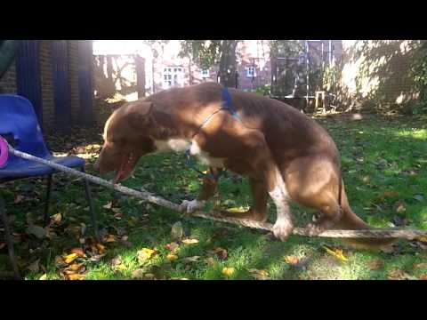 Amazing Tightrope Walking Dog