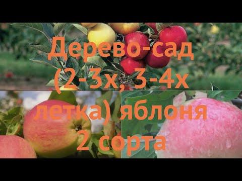 Яблоня обыкновенная Яблочный спас - Медуница 🌿 обзор: как сажать, саженцы яблони