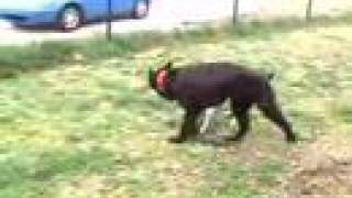 Giant Schnauzer Vs Jack Russell Terrier 2