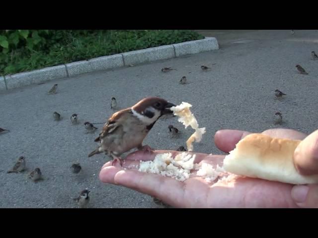 すずめ食堂 無謀な奴ら編 スズメは Tree Sparrow であーる