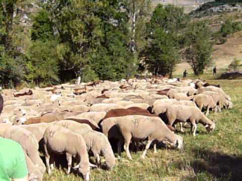 Reabaño De Ovejas Y Cabras En Genicera Youtube