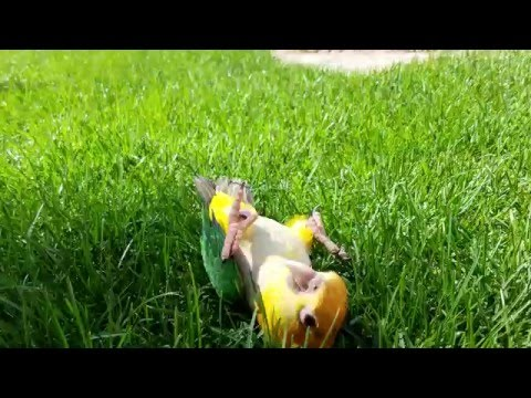 Mango the Caique parrot rolls around in the grass like a dog.