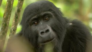 Gorilla Mating - Mountain Gorilla - BBC(A relatively new female to the group wants to mate with the dominant male. But his lack of interest pushes her towards one of the more juvenile adults instead., 2015-02-04T19:06:03.000Z)