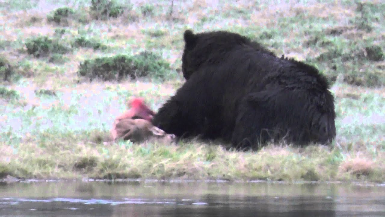 Bear Eating An Elk Calf Part 3 Warning Very Graphic