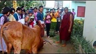 Con bò quỳ xuống cầu cứu, sau khi bác sĩ thú y kiểm tra tiết lộ sự thật khiến mọi người nghẹn lòng