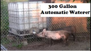 SMART Pigs Using Automatic Waterer For The First Time