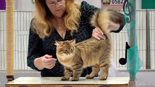 CFA International Show 2019  Siberian Kitten Class Judging
