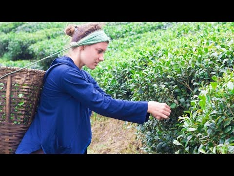 Ilam Tea Gardens in Eastern Nepal