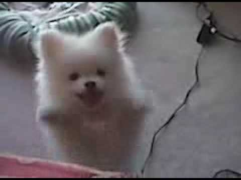 White Pomeranian Puppy Crying