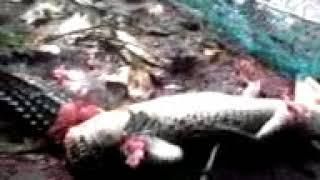 Download Video penangkapan buaya di pantai akesahu tidore part 2 MP3 3GP MP4