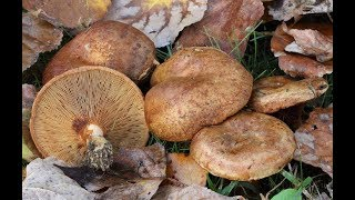 Вкусные грибы свинушки в сметане. Как приготовить грибы. Рецепт свинушек !