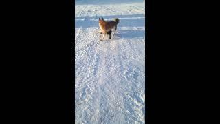 Бой свирепых собак зимой. ШОК ВИДЕО!!!