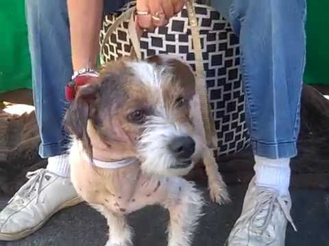 A4992311 Russo | Parson Russell Terrier Mix