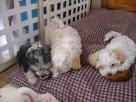 Havanese Puppies 7 weeks old
